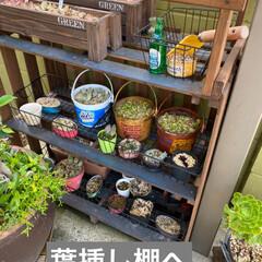 虹の玉/多肉植物/虹の玉チャレンジ 虹の玉チャレンジ! 多肉ブログなんかで …(9枚目)