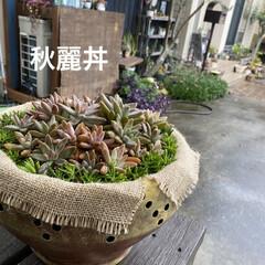 多肉/多肉植物 以前 木製鉢に寄せ植えをさせてもらった美…