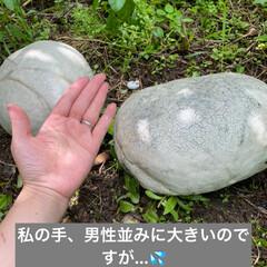 巨大きのこ/キノコ/オニフスベ/多肉植物寄せ植え/多肉植物 これはなんでしょう??  これは🍄です!…(2枚目)