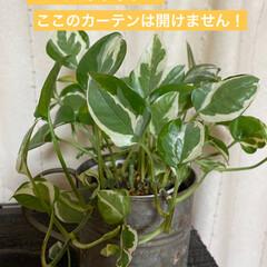 ポトス/観葉植物 お部屋の中にグリーンを❣️  ポトスから…