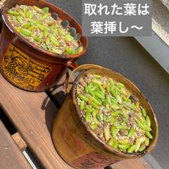 虹の玉/多肉植物/虹の玉チャレンジ 虹の玉チャレンジ! 多肉ブログなんかで …(8枚目)