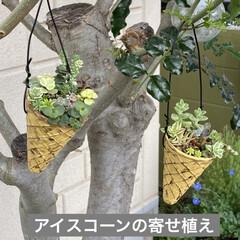 ガーデン/煙の木/スモークツリー/多肉植物寄せ植え/多肉植物のある暮らし/多肉/... 台風が過ぎ少し気温が下がり秋を感じるよう…(4枚目)