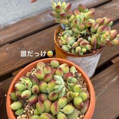 サボテン寄せ植え/サボテン/多肉植物寄せ植え/多肉/多肉植物 少し前に シーグラス鉢に 100均サボテ…(4枚目)