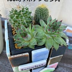 サボテン寄せ植え/サボテン/ダイソー/多肉植物/100均 ダイソーから 連れてきたサボテン🌵たちを…(2枚目)