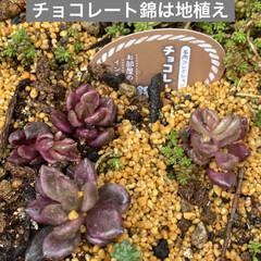 ガーデン/ミニチュア/薔薇/多肉植物 今日は 朝から多肉狩〜〜❤️  昨夜、蘭…(7枚目)