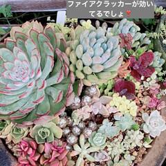 花壇/サボテン/乙女心/ファイアークラッカー/多肉植物寄せ植え/多肉植物/... 梅雨に調子を崩してたファイアクラッカーで…(2枚目)