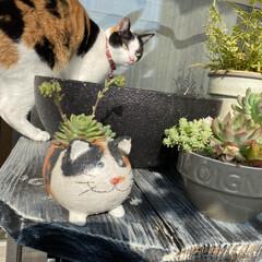 花壇/ビーチグラス/シーグラス/多肉/多肉植物/猫 うちのニャンコと猫鉢多肉  猫鉢の多肉が…