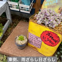 虹の玉/多肉植物/虹の玉チャレンジ 虹の玉チャレンジ! 多肉ブログなんかで …(6枚目)