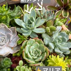 多肉植物/多肉植物寄せ植え  先日投稿した寄せ植え。  やっと、メン…(2枚目)