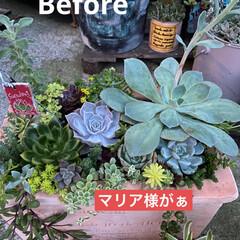 多肉植物/多肉植物寄せ植え  先日投稿した寄せ植え。  やっと、メン…(3枚目)