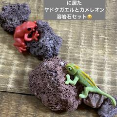 ガーデン/ミニチュア/薔薇/多肉植物 今日は 朝から多肉狩〜〜❤️  昨夜、蘭…(10枚目)