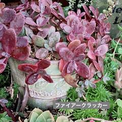 花壇/サボテン/乙女心/ファイアークラッカー/多肉植物寄せ植え/多肉植物/... 梅雨に調子を崩してたファイアクラッカーで…