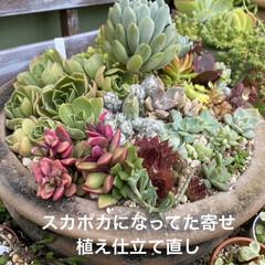 多肉植物/多肉/多肉植物寄せ植え/カエル/サンセベリア/ハオルチア/... いい季節になりましたねぇ😃  とってもい…(2枚目)