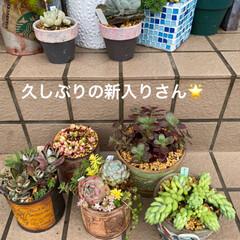 花壇/多肉植物寄せ植え/マリア/多肉植物 お天気今ひとつですが 新入りの多肉たちと…