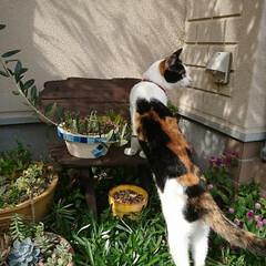 多肉/多肉植物/多肉植物のある暮らし/ネコ/猫/猫好き/... 今日の天気は 曇り~ 朝から はりきって…