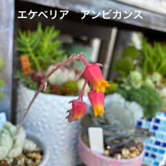 多肉植物 多肉〜 花盛り〜〜🌼
