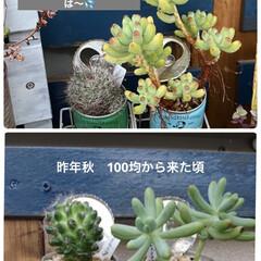 花壇/サボテン/乙女心/ファイアークラッカー/多肉植物寄せ植え/多肉植物/... 梅雨に調子を崩してたファイアクラッカーで…(3枚目)