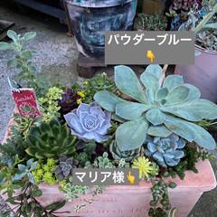 巨大きのこ/キノコ/オニフスベ/多肉植物寄せ植え/多肉植物 これはなんでしょう??  これは🍄です!…(4枚目)