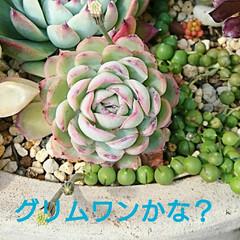 多肉/多肉植物寄せ植え/多肉植物 雨続きだったので 寄せ植えをよく見ると下…