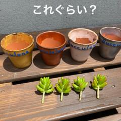 虹の玉/多肉植物/虹の玉チャレンジ 虹の玉チャレンジ! 多肉ブログなんかで …(2枚目)
