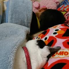ペット/猫好き/猫 2年前の写真です。奥が息子ちゃん 手前が…