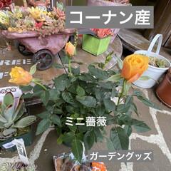 ガーデン/ミニチュア/薔薇/多肉植物 今日は 朝から多肉狩〜〜❤️  昨夜、蘭…(4枚目)