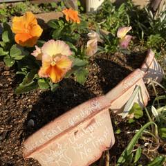パンジー/花壇/多肉植物の寄せ植え/多肉/多肉植物 昨日植えた パンジー💕  花壇の中に少し…(1枚目)