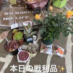 ガーデン/ミニチュア/薔薇/多肉植物 今日は 朝から多肉狩〜〜❤️  昨夜、蘭…(1枚目)