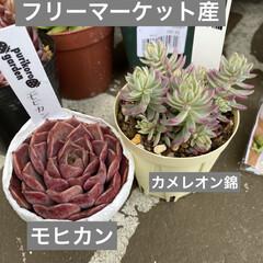 ガーデン/ミニチュア/薔薇/多肉植物 今日は 朝から多肉狩〜〜❤️  昨夜、蘭…(3枚目)