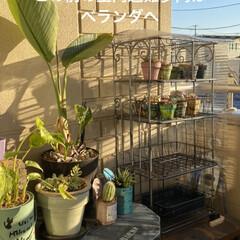 多肉植物/多肉/多肉植物の寄せ植え/リメ缶/リメ缶バッグ 蘭くんのおうちさんが 作ってた バスロマ…(6枚目)