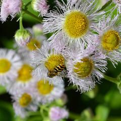 ハルジオン/蜂/植物/虫/はじめてフォト投稿 ハルジオンと蜂