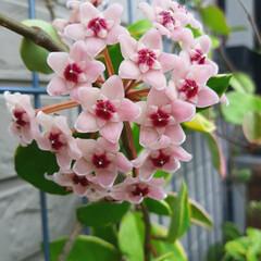 ホヤ/サクララン/ガーデニング/暮らし サクラランです💗 5年目でやっと咲きまし…