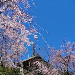 サクラ/さくら/桜 咲いている所だけの👀📷✨ まだちらほらで…