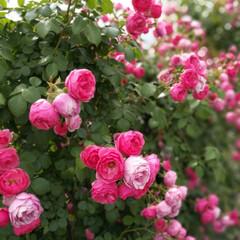 バラ/ガーデニング こんにちは👋😃💕 1枚目のバラは昨日行っ…