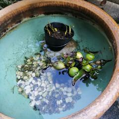 鳥/めだか/暮らし 放ったらかしだったメダカ鉢の掃除。  蛙…