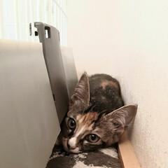 猫/野良猫出身/野良猫から飼い猫へ/ねこ 10日程前から2ヶ月ぐらいの野良猫赤ちゃ…
