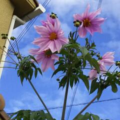 お花/お庭/はじめてフォト投稿 皇帝ダリア。 今年も大きくなぁれ♪