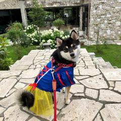 黒柴/柴犬/愛犬/コスプレ犬/ドレス犬/白雪姫/... 柴雪姫♡ 初めてのお洋服、初めてのコスプ…
