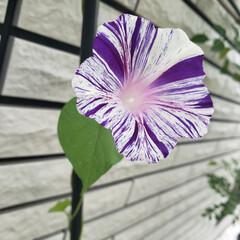 はじめてフォト投稿/風景 #はじめてフォト投稿 可愛い朝顔の花が咲…