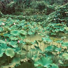 花/お花/自然/植物/国内旅行/LIMIAお出かけ部/... はすの花