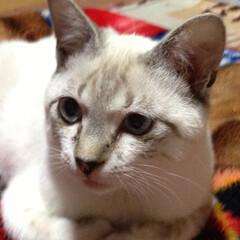 猫/可愛い 我が家の愛猫のみに(オス)です☺︎目がぱ…