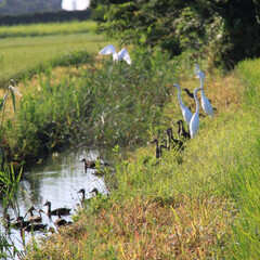 「#夏のお気に入り」/夏のお気に入り 家の前の用水路に、夏になると白鷺と鴨が水…