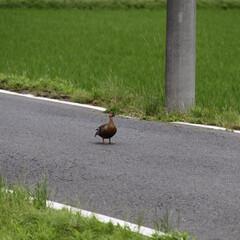 #はじめてフォト投稿/はじめてフォト投稿 自然豊かな里山です。鴨が日中、舗装道路を…