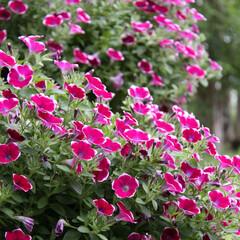 #はじめてフォト投稿/はじめてフォト投稿 満開のサフィニアです。大きく育った花を二…