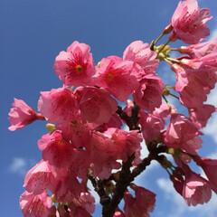 お花見/サクラ/南の島 都会では大雪なのにここは春のよう…  凄…