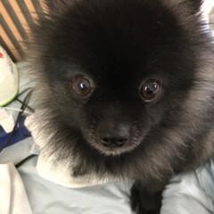 犬派 7歳のポメちゃん^_^毎日癒されています…