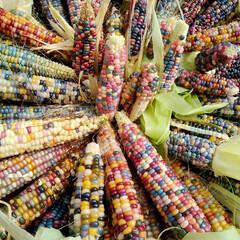 信州/長野県/茅野市/家庭菜園/7色/七色もろこし/... 昨年家庭菜園で育てた7色モロコシです、成…