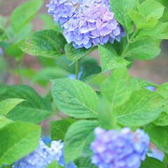 おでかけワンショット/紫陽花/紫/花/おでかけ/夏 今年は長い梅雨でしたね。 気温も低かった…