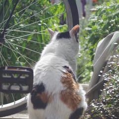 猫派/猫/可愛い/後姿 ねこはうしろ姿も可愛いんだぞ!という写真…