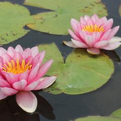 蓮/スイレン/睡蓮/富山市/安田城跡/植物/... 富山市の安田城跡の蓮の花を撮影しました。…